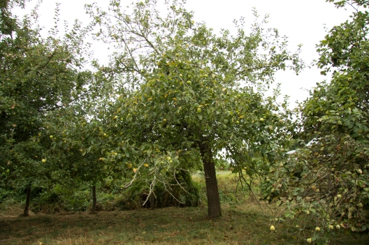 We have a lot of fruit trees on the land